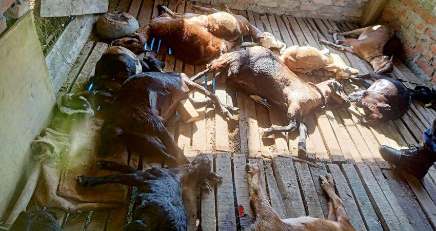गएराती चितुवाको आक्रमणबाट २२ वटा खसी तथा बाख्राको मृत्यु